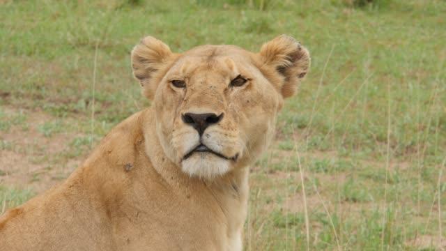 stockvideo's en b-roll-footage met leeuwen in nationaal park serengeti - leeuwin