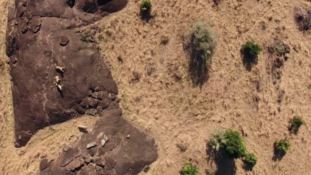 Lions making a run from the rocks Masai Mara