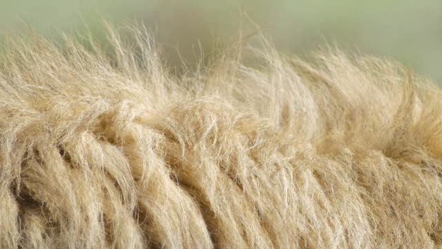 lion's mane close up of hair in the wind - criniera video stock e b–roll