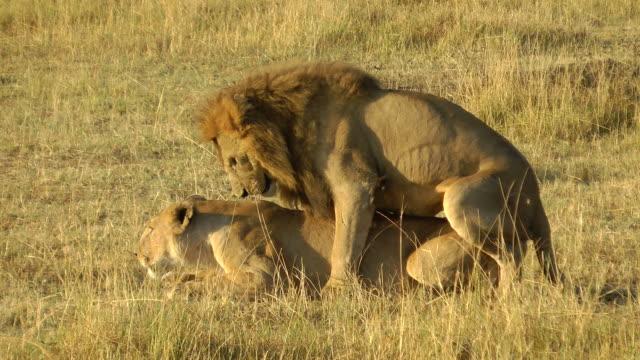 lions S'accoupler - Vidéo
