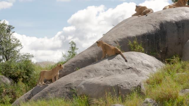 stockvideo's en b-roll-footage met leeuwen op de rotsen in nationaal park serengeti - leeuwin