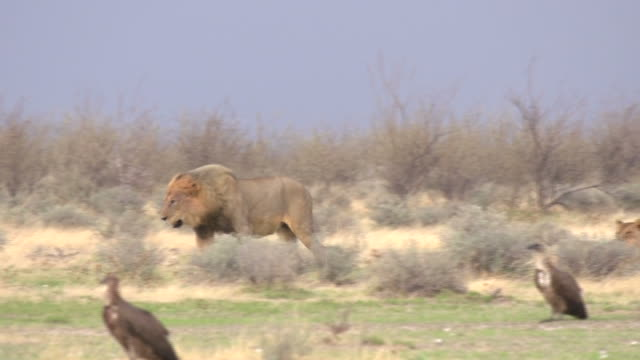 Lions Lioness feeding on a Zebra carcass, while a Lion is walking away, Etosha National Park, Namibia animal skeleton stock videos & royalty-free footage