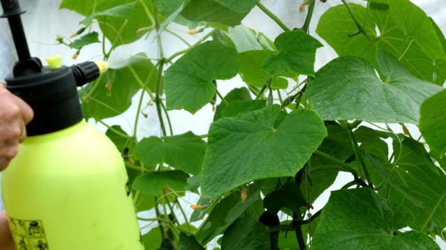 liquid top dressing of cucumbers in a greenhouse. - fertilizzante video stock e b–roll