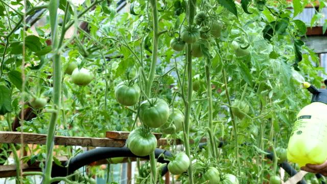 liquid top dressing of tomatoes in a greenhouse. - insetticida video stock e b–roll