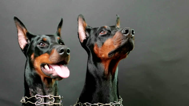 listening attentively to masters commands, closeup side view of two black and brown dobermans listening attentively to masters commands, closeup side view of two black and brown dobermans wearing steel dog collars sitting still on isolated dark background, domestic dogs posing in photo session pinching stock videos & royalty-free footage