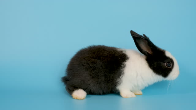 Little adorable black and white bunny rabbit walk from left to right side on blue screen background
