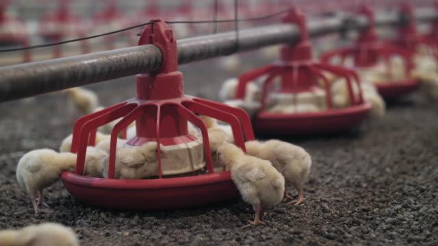 vídeos de stock, filmes e b-roll de galinhas bebês pequenas e fofas estão comendo e bebendo água de um alimentador de frango - ave doméstica