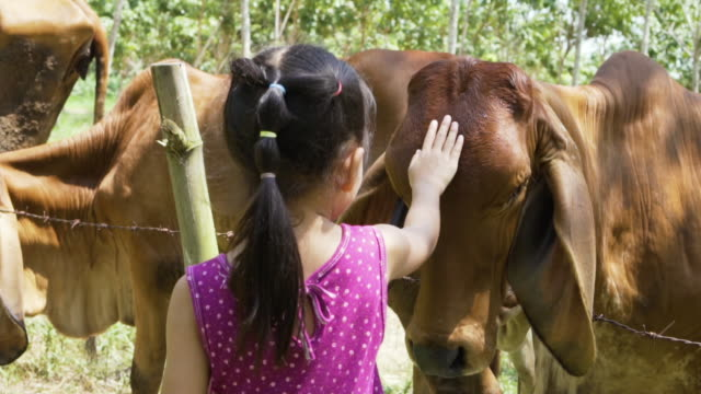 A little asian girl petting calf in the field. The curiosity of children with animal