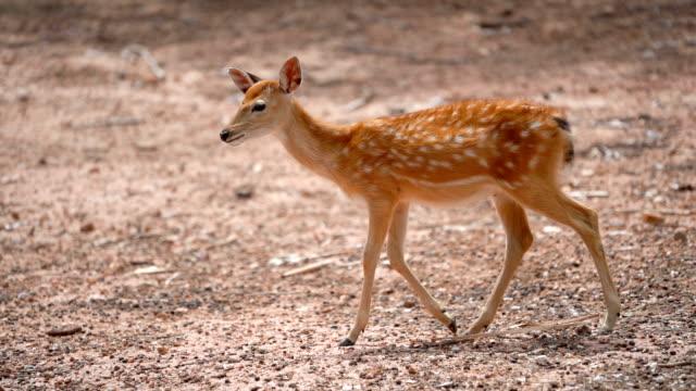 slo mo küçük eksen-doğada benekli geyik. - benekli geyik stok videoları ve detay görüntü çekimi