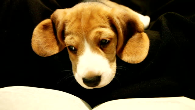 Little beagle puppy read book before going to bed video