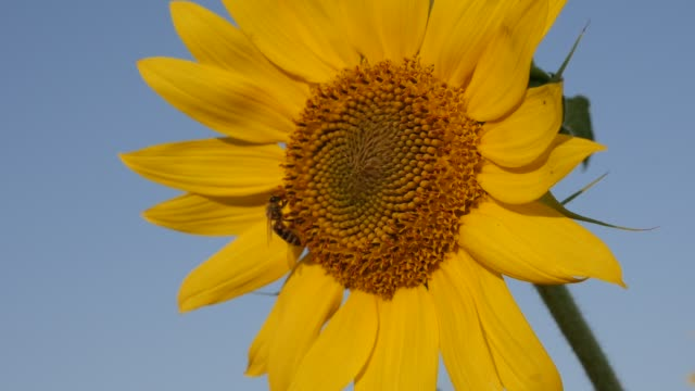vídeos de stock, filmes e b-roll de pequena abelha e helianthus plantam slow-mo - flor temperada