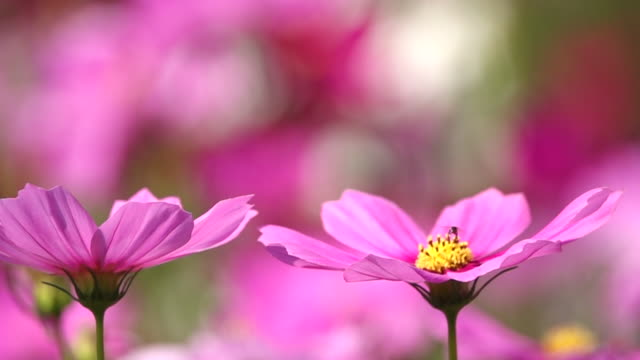 little bee swarming pink cosmos flowers slow motion - coreopsis lanceolata video stock e b–roll