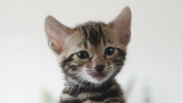 lilla bengal kattunge ringer i slow motion - kattunge bildbanksvideor och videomaterial från bakom kulisserna