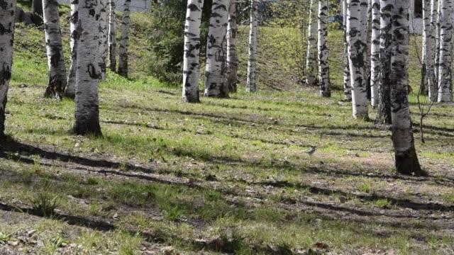 vídeos de stock, filmes e b-roll de o wagtail pequeno do pássaro funciona na grama verde nova no vidoeiro parque, fundo da mola - bétula