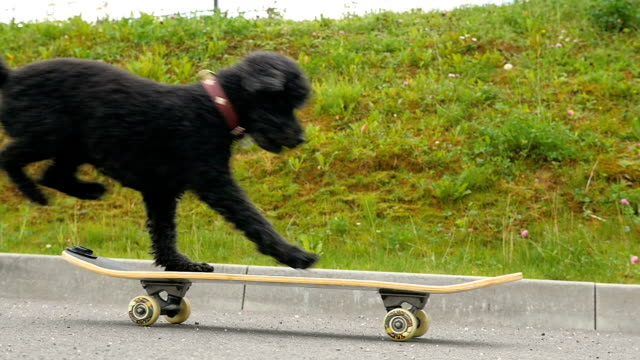little black dog (poodle) jumps on skateboard, slow motion - skateboarding stock videos and b-roll footage