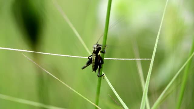 SERIES: Little black grasshopper video