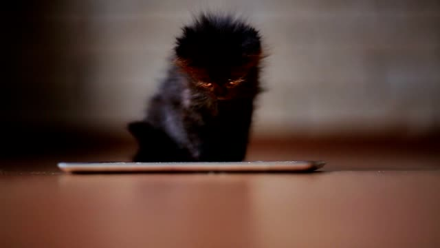 A little black kitten in the evening is playing with a screen tablet computer. Having fun and jumping on the screen A little black kitten in the evening is playing with a screen tablet computer. Having fun and jumping on the screen kitten stock videos & royalty-free footage