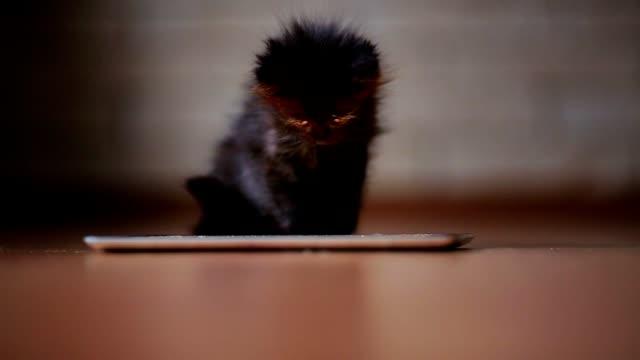 en liten svart kattunge på kvällen spelar med en skärm tablett dator. ha roligt och hoppa på skärmen - kattunge bildbanksvideor och videomaterial från bakom kulisserna