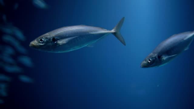 little blue wonder - морская рыба стоковые видео и кадры b-roll