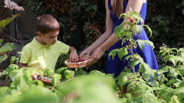 Little boy and his sister harvesting raspberries in the bakcyard