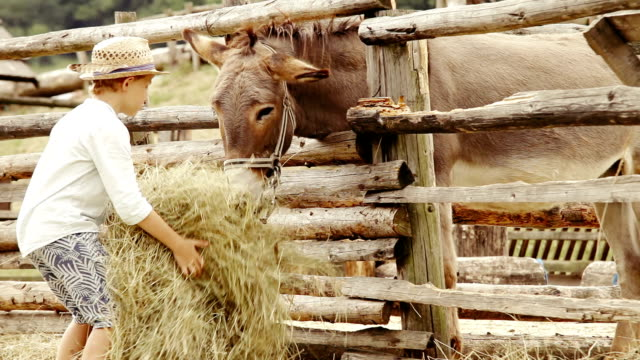 Little boy brings a bunch of hay to a donkey that's in the corral video