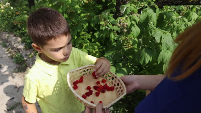 Little boy eating raspberries in the backyard
