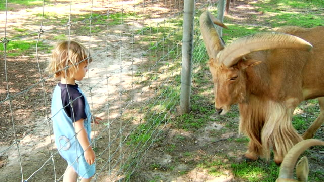 Little Boy Feeding Goat video