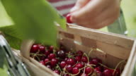 istock Little boy picking up cherries in orchard 1250958401