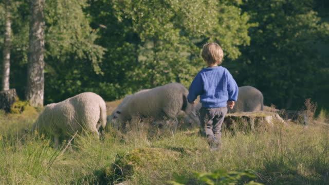 vídeos de stock e filmes b-roll de little boy plays with sheep in nature - noruega
