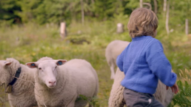 little boy plays with sheep in nature - ovino video stock e b–roll