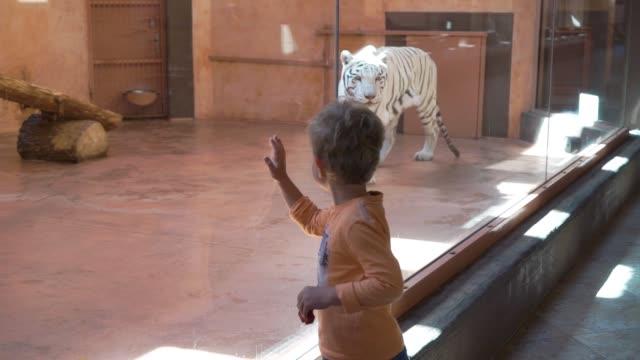 vidéos et rushes de regardez le petit garçon blanc tigre dans le zoo - zoo