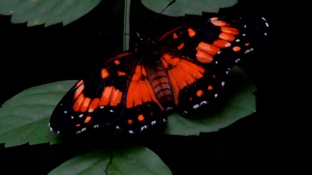 A little butterfly lightly pulses its wings on a leaf.