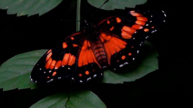 vídeos y material grabado en eventos de stock de una pequeña mariposa pulsa ligeramente sus alas en una hoja. - diseño natural