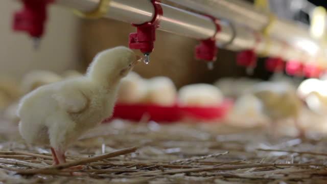 Little chicken drinking water video