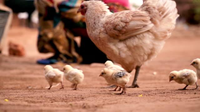 little chicks around mother hen - mały filmów i materiałów b-roll