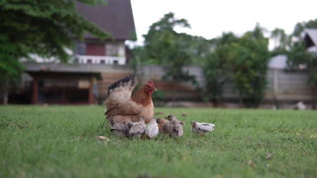 Little chicks eating around mother hen.
