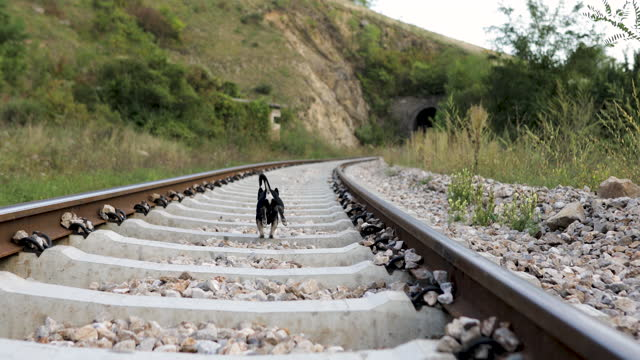 Little Chihuahua dog running on rails in nature