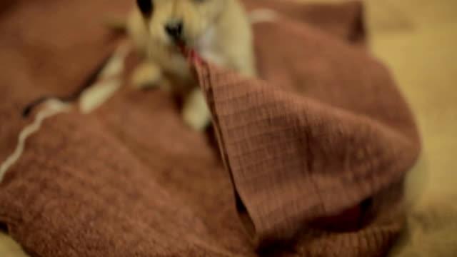 lilla chihuahua valp spela - morrhår bildbanksvideor och videomaterial från bakom kulisserna