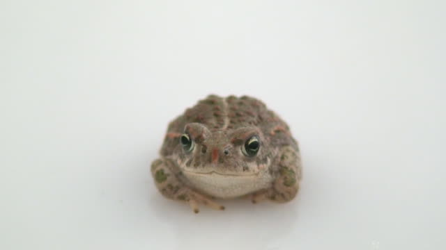 Little common toad video