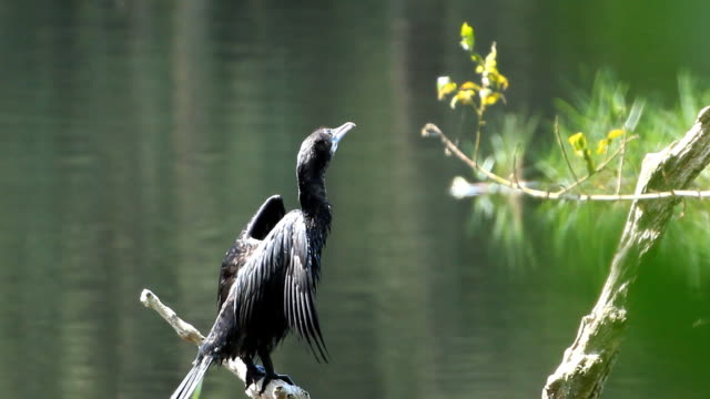 Little Cormorant standing on log video
