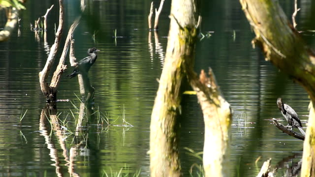 Little Cormorant video