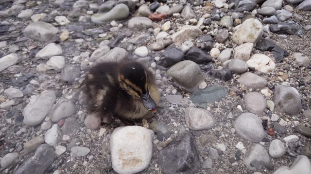 Little cute duckling. The chick lies on the lake and rests