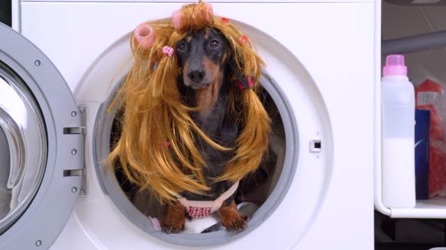 küçük dachshund komik pembe ve beyaz damalı hizmetçi kostüm ve renkli saç bantları ve curlers ile altın sarı peruk giyen açık çamaşır makinesi davul dışarı peeks.  mizah - peruk stok videoları ve detay görüntü çekimi