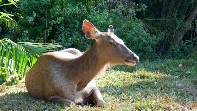 ormanda ot yiyen küçük geyikler - benekli geyik stok videoları ve detay görüntü çekimi