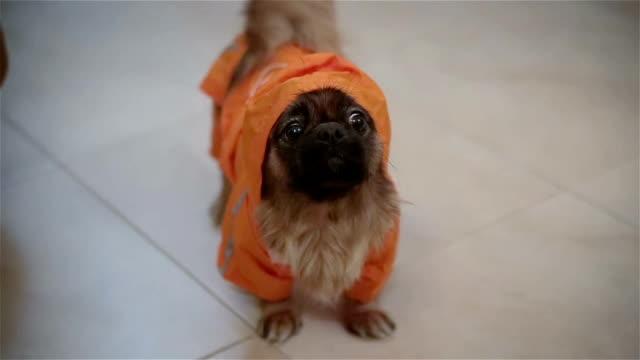 vídeos de stock, filmes e b-roll de cão pequeno no terno - vestuário