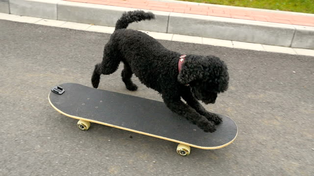 Little dog is driving with skateboard, slow motion video