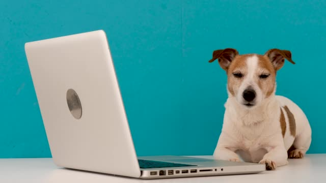 Little dog lying near laptop Cute Jack Russel Terrier dog lying on white table and falling asleep using laptop against blue background terrier stock videos & royalty-free footage