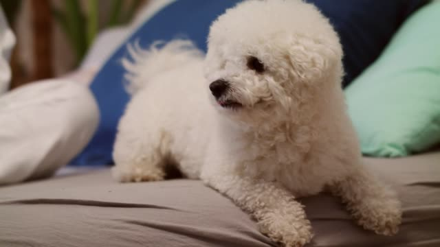little dog resting on a bed after playing catch with his owner - bichon frisé video stock e b–roll
