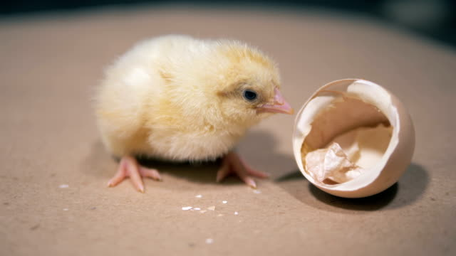 Little duckling sits near an eggshell, close up. Baby bird hatching from egg at a farm