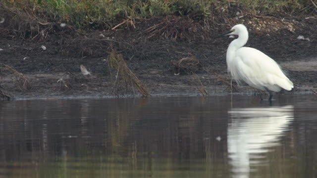A little egret standing and hunting for fish